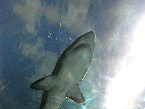 shark-overhead