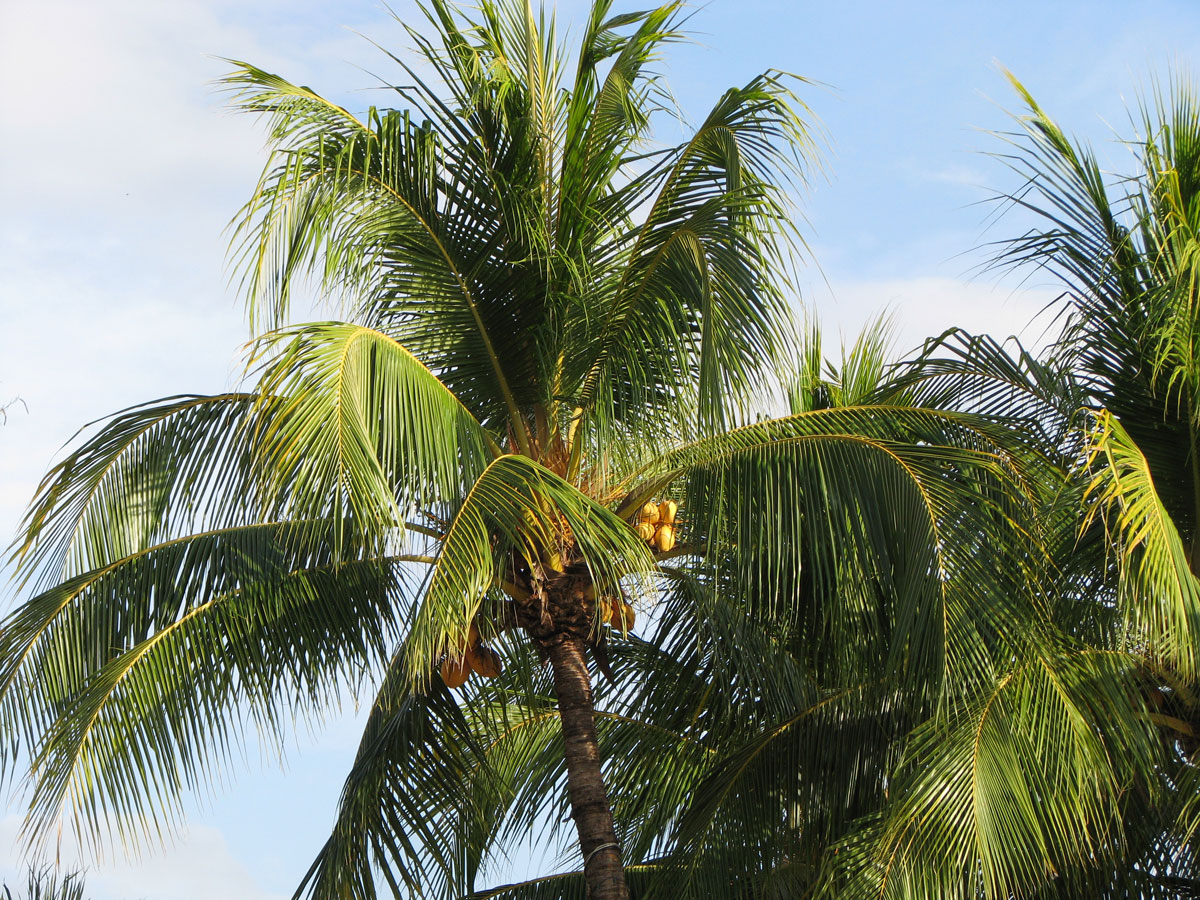 Real coconuts growing in a palm tree
