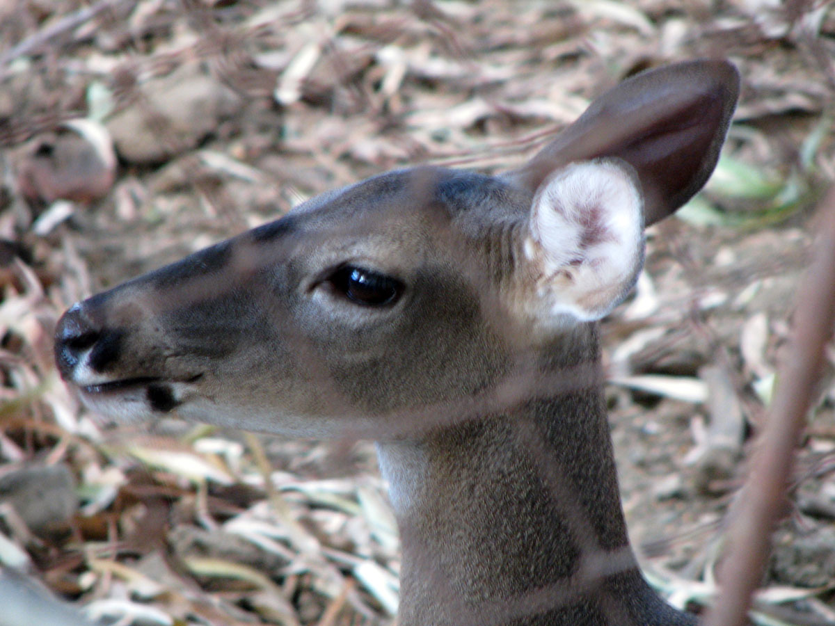 An exotic animal here in Nicaragua - this hotel has a large nature area with a few deer in it!