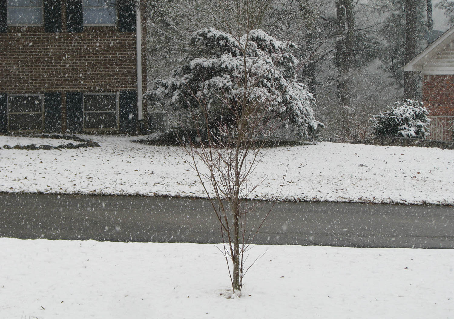 Snow falling on Analise's dogwood tree in the front yard