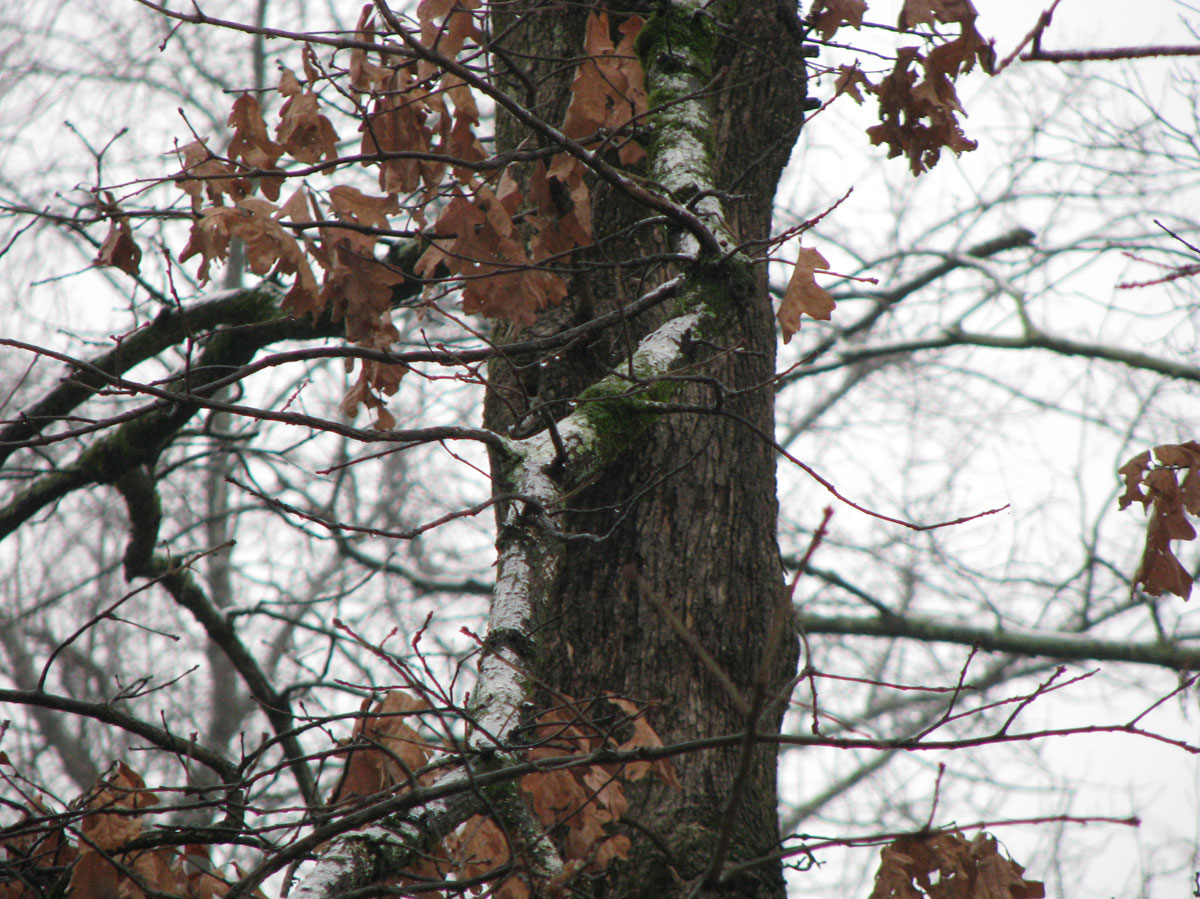 Ice on tree limbs - Monday afternoon after light freezing drizzle all day
