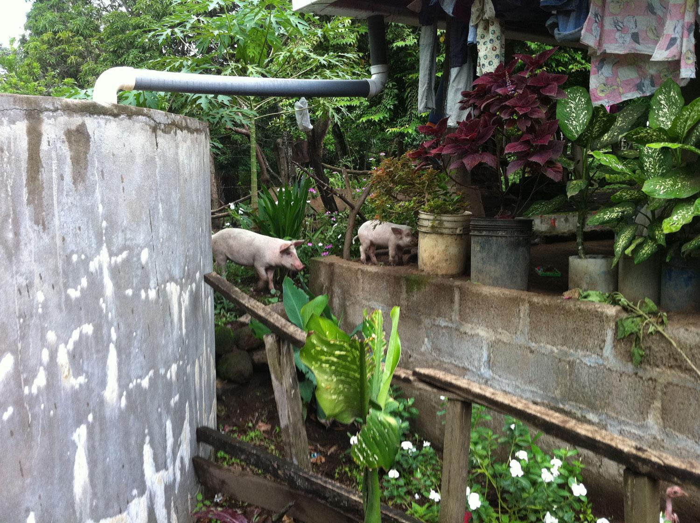 Pig and piglet next to one of the Nuevas Esperanzas rainwater harvesting tanks.