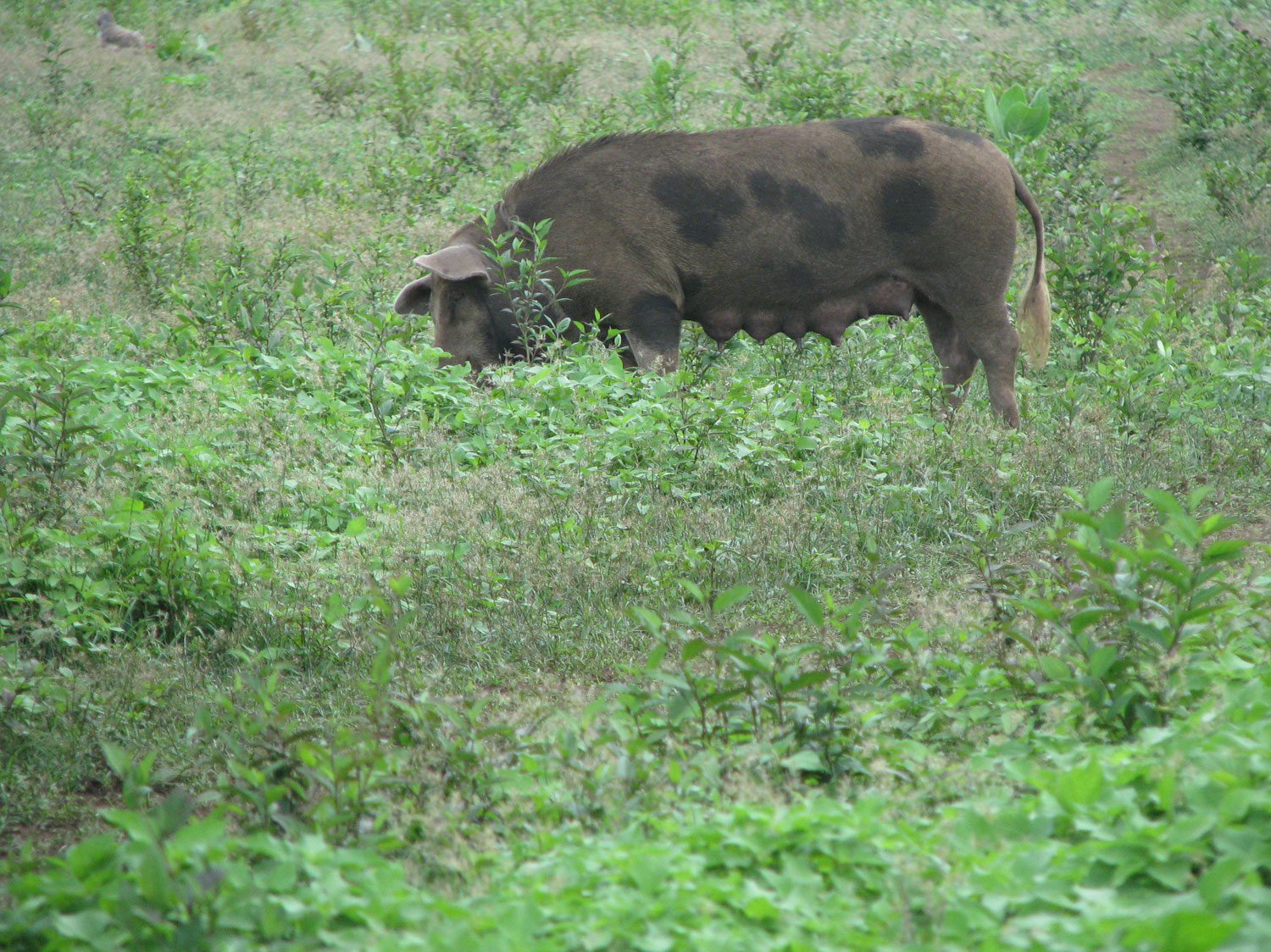 A giant pig in the community of Nuevo a Manecer