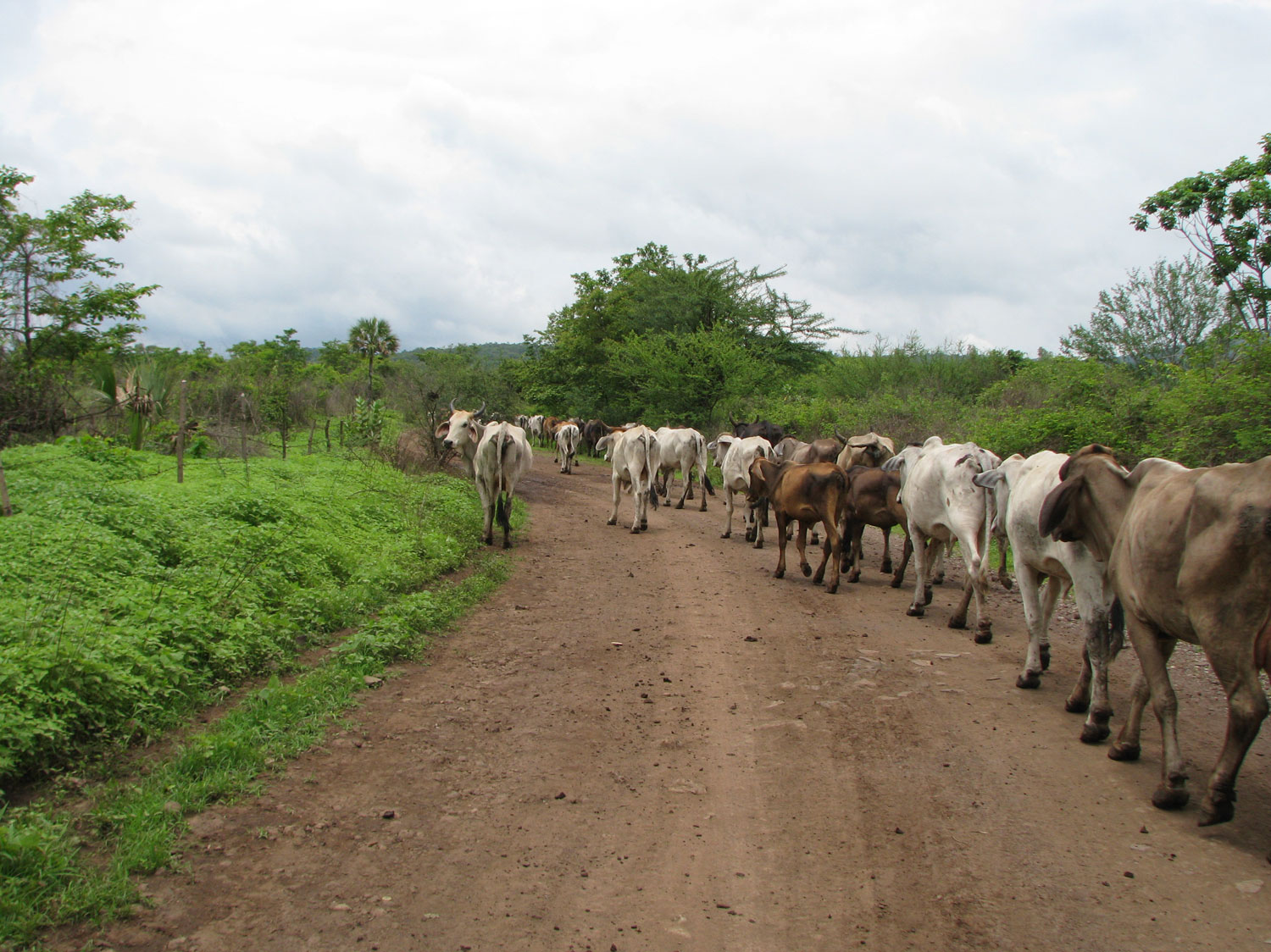 We had to carefully pass through this herd of cows.