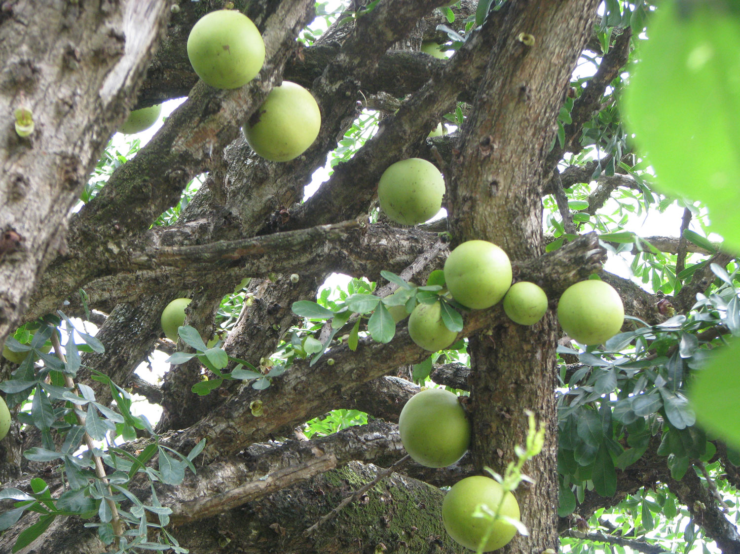 An interesting fruit that grows directly out of the main branches of the tree