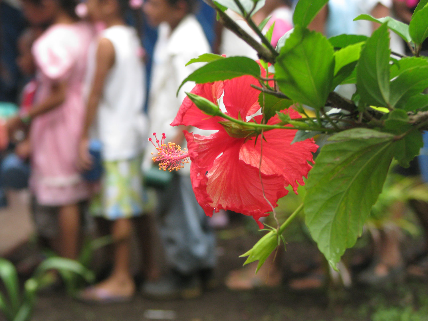 A haibiscus flower with the students in the background