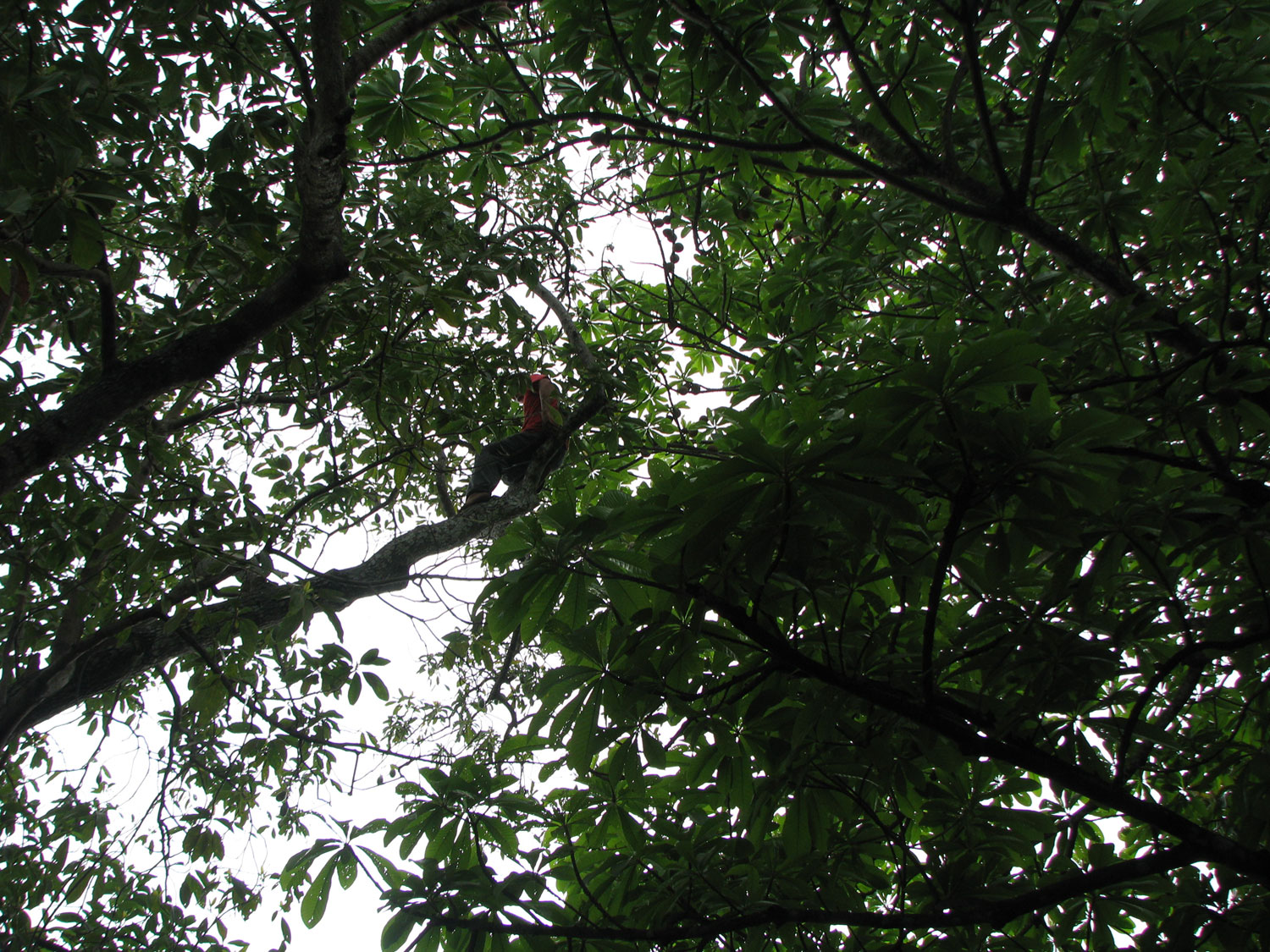 Avacado harvesting high up in a tree