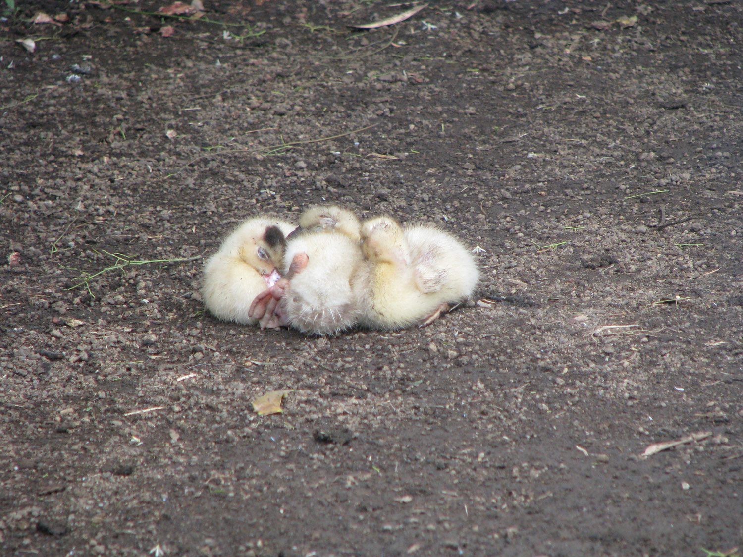 Lots of baby chicks (or ducks)
